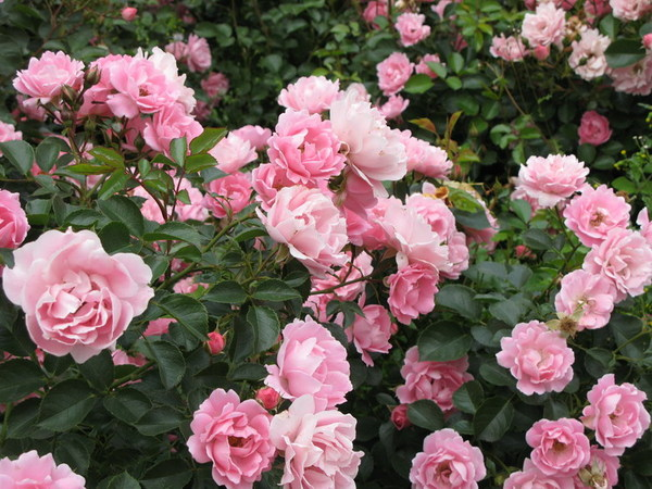 Garden roses used to minimum care, they do not require special protection in the winter.