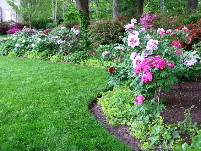 Розовые пионы разных оттенков в саду.