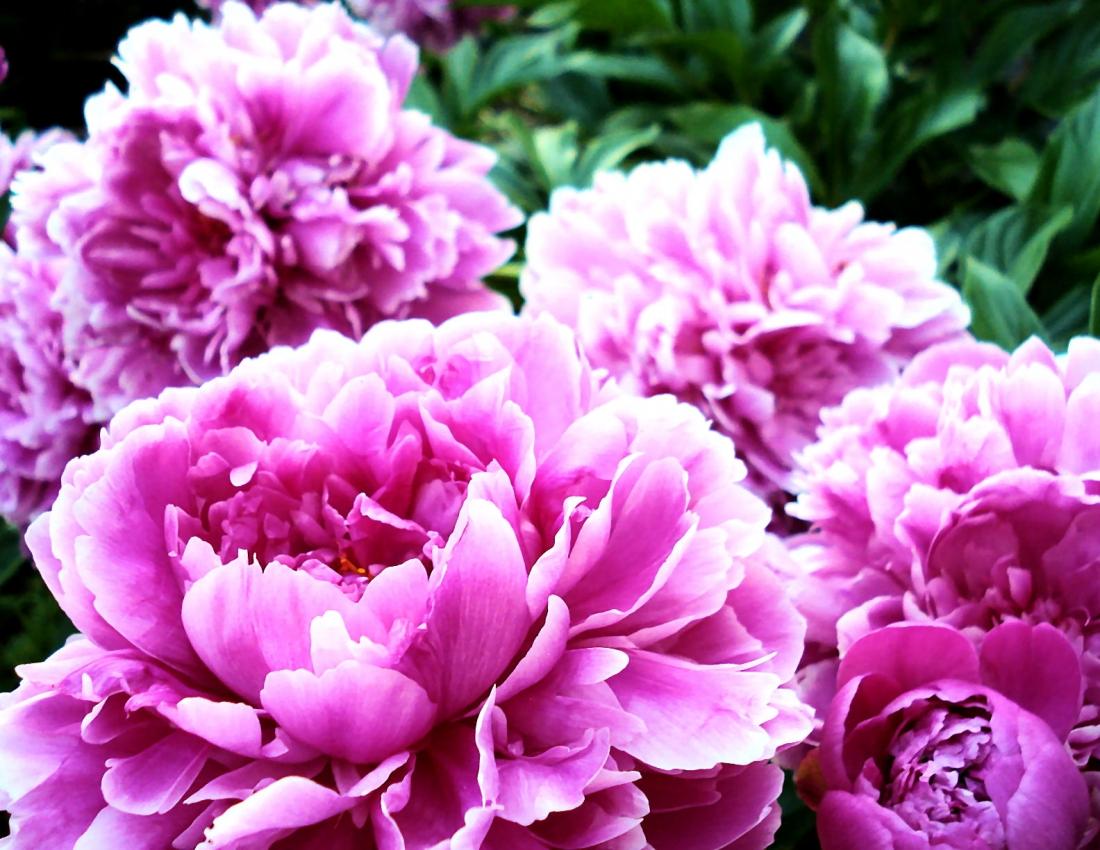 Пионы - короли садового ландшафта.