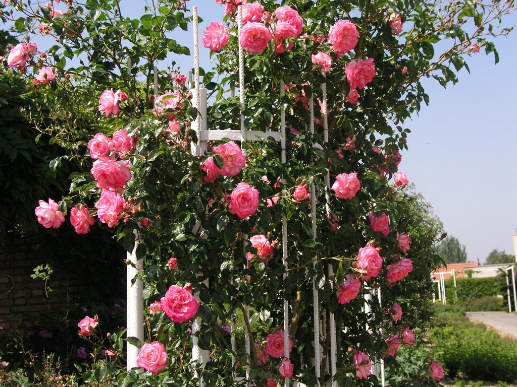 Плетистая роза на вертикальной опоре.