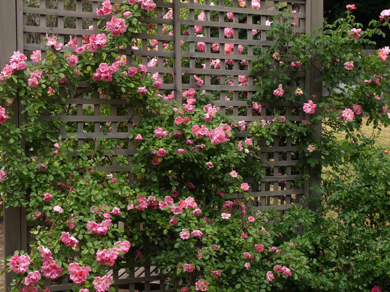 Плетистая роза, размещенная на вертикальной опоре.