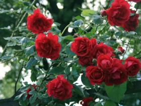 """Роза сорта """"Рамблер""""."""
