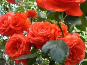 """Плетистая роза """"Салита""""."""