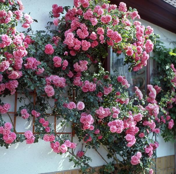 Плетистая роза на стене дома.