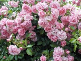 Цветущая плетистая роза.