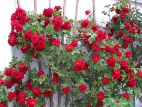 Красная плетистая роза у забора.