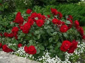 Полиантовые розы.
