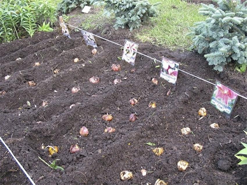 Посадки лилий разных сортов.
