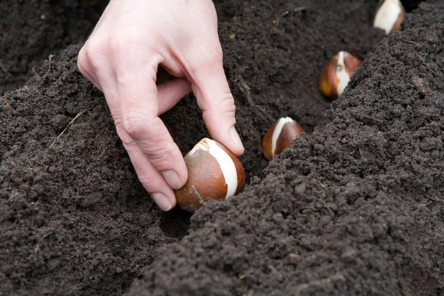 Planting bulbs.
