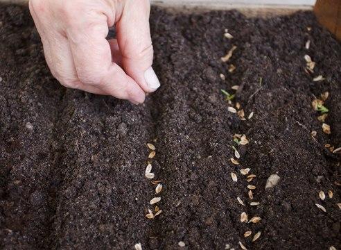 Размножение флокса семенами.