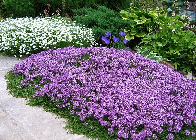 Ground cover plants in garden design.