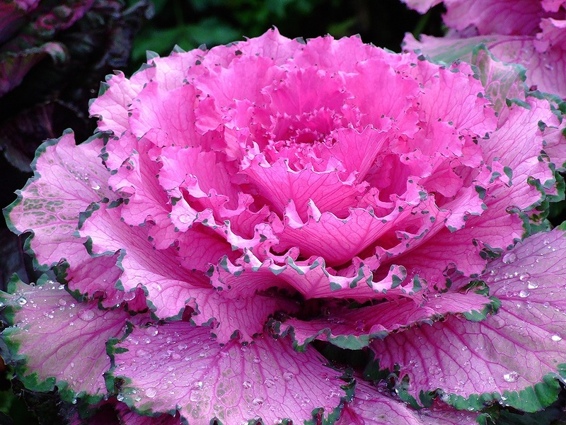 Ornamental Kale is almost indistinguishable from the roses.