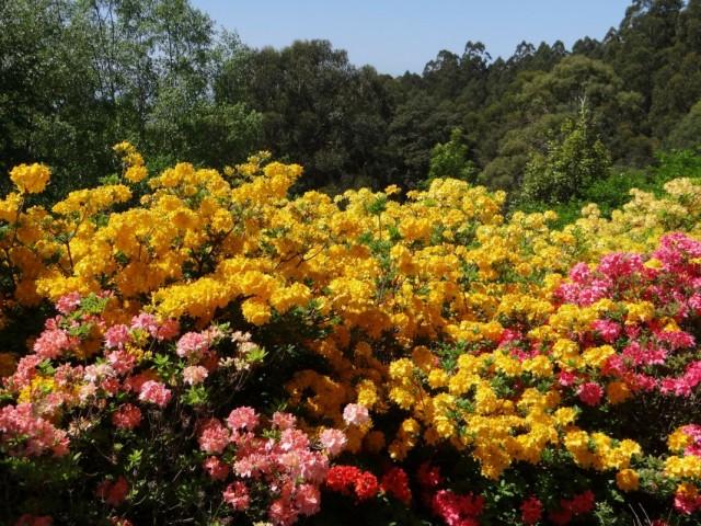 Размытые посадки рододендрона в желто-розовых тонах.