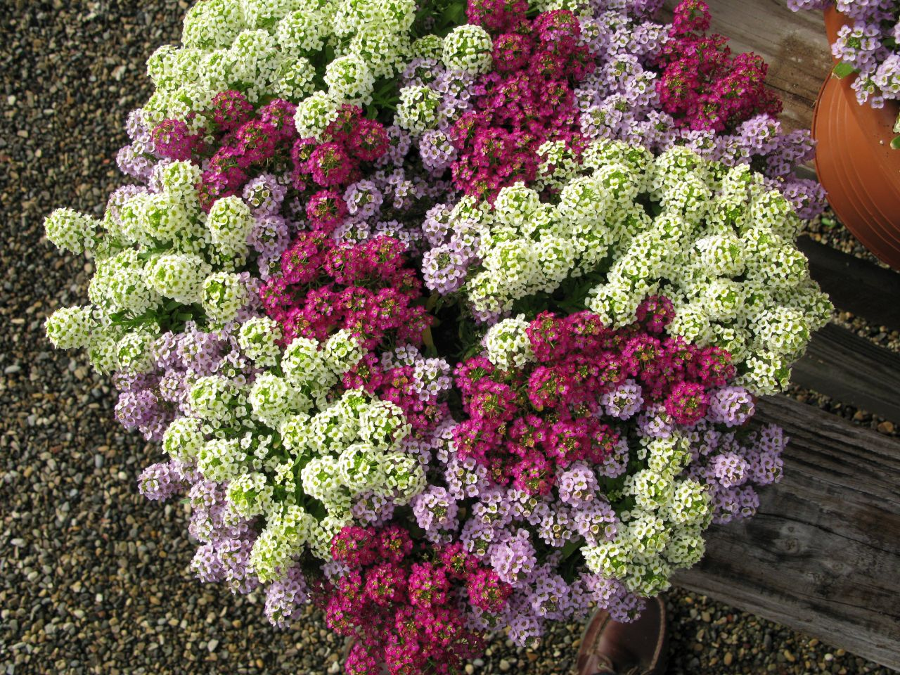 Multicolored sea alyssum.