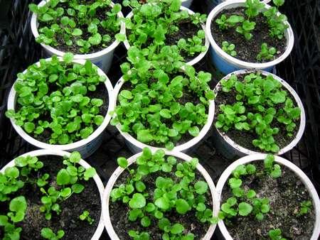 Seedling lobelias.