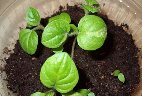 Seedlings of physalis.
