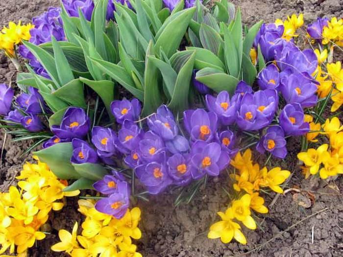 Растения-первоцветы в саду.