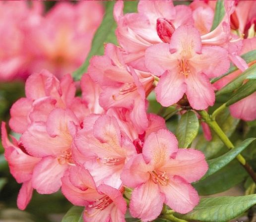 "Rhododendron varieties ""Balalaika""."