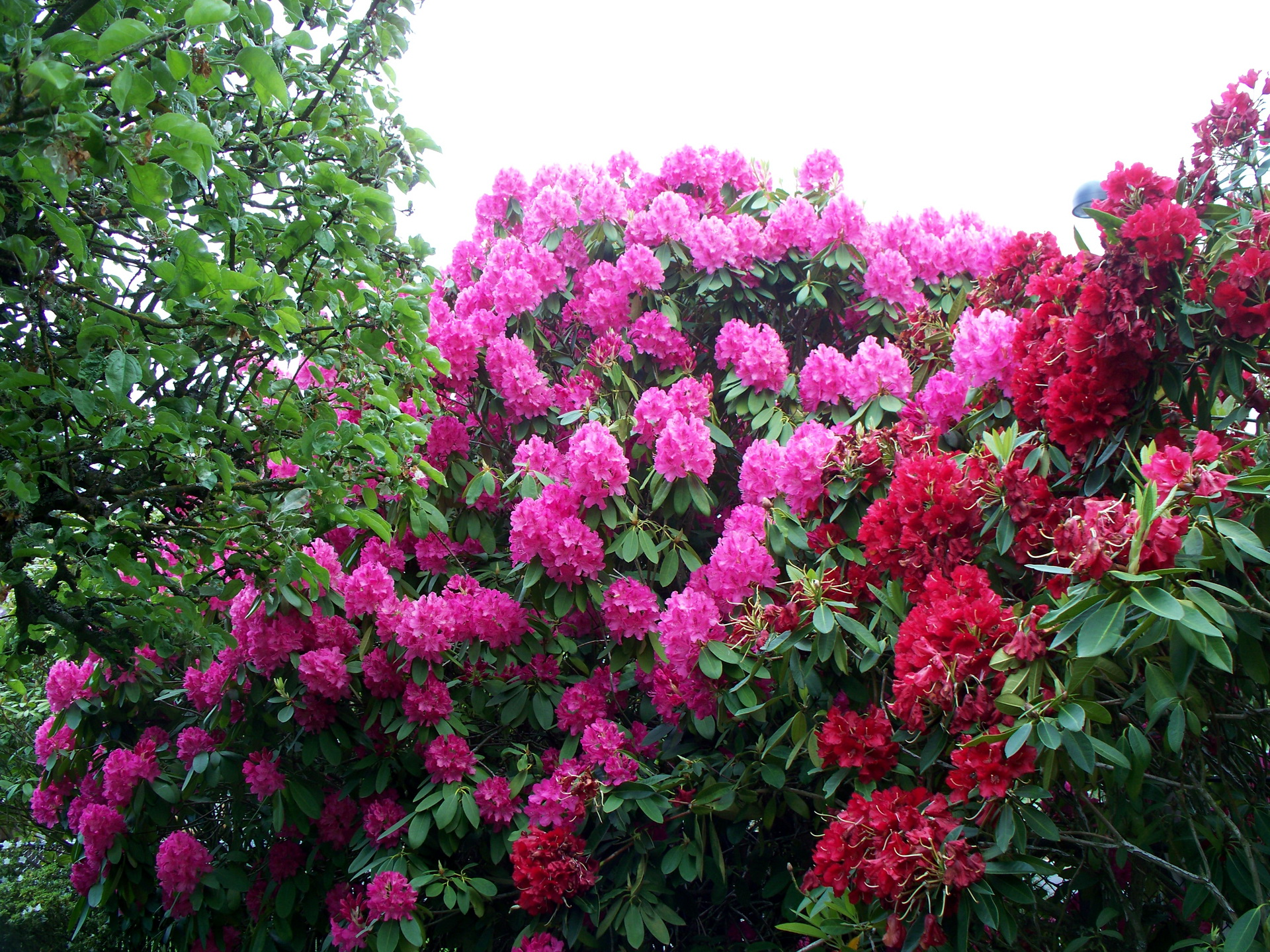 Rhododendron in the garden.