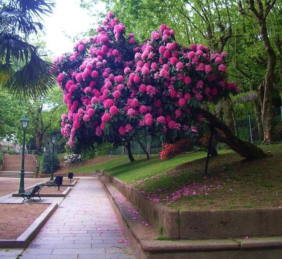 Рододендрон в парковой зоне.