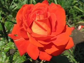 """Роза сорта """"Верано""""."""