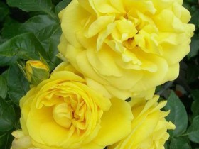 "Плетистая роза сорта ""Голдштерн""."