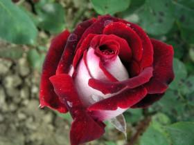 """Роза сорта """"Озирия""""."""