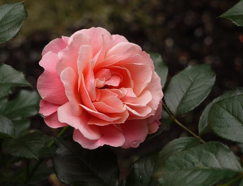 """Роза флорибунда, сорт """"Ботичелли""""."""