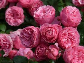 Роза флорибунда.