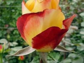 """Роза сорта """"Хелио""""."""