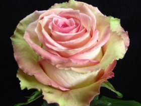 "Роза сорта ""Эквадор""."