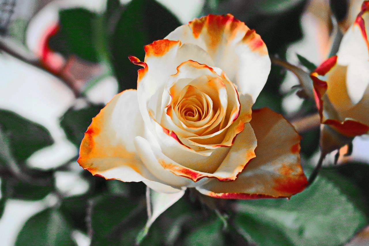 Роза на приусадебном участке.