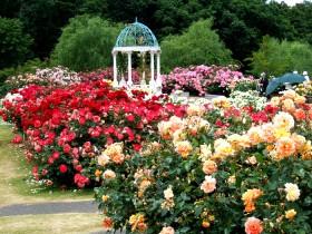 Розы возле беседки.
