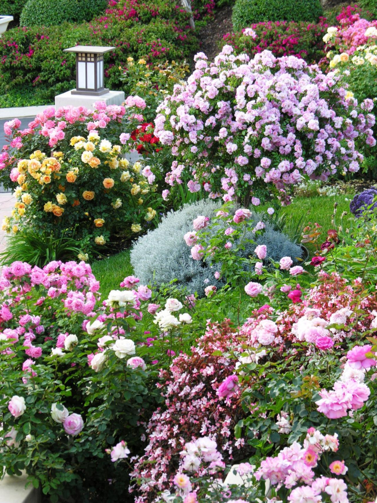Розы в саду.