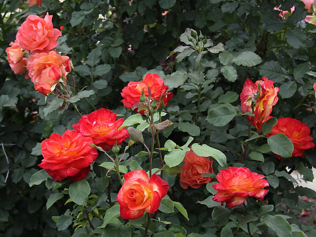Троянди флорибунда.