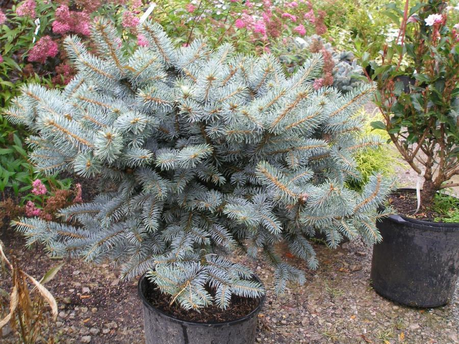 A seedling blue spruce.