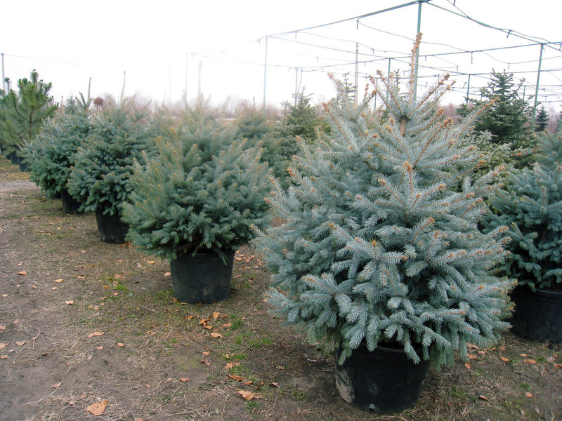 Seedlings of fir-trees in pots.