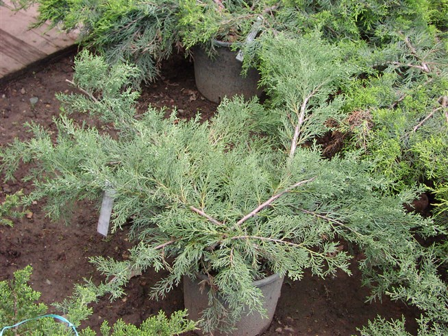 Seedling juniper.