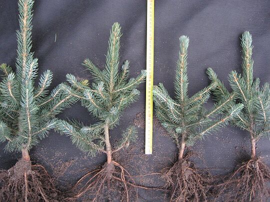 Seedlings of blue spruce.