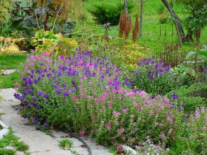 На фото: посадки сальвии в саду.