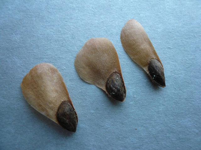 Семене ели.