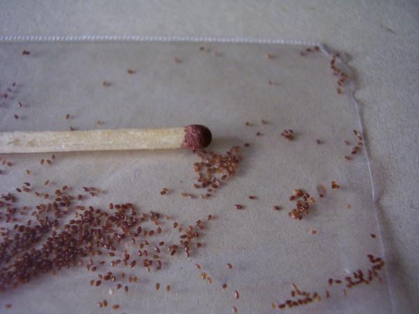 Семена колокольчика.