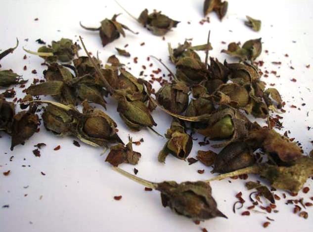 Семена наперстянки.