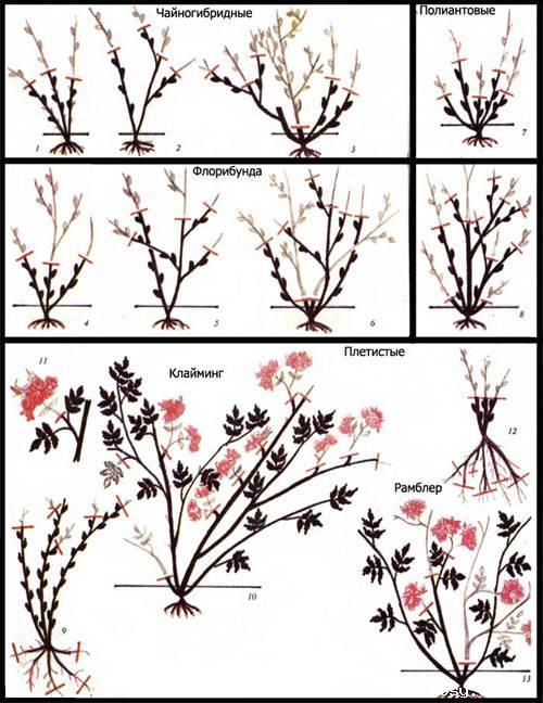 Способы обрезки разных видов роз.