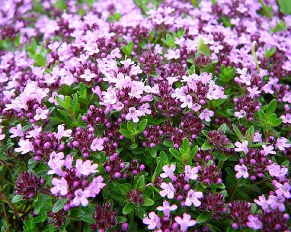 Цветущий тимьян или богородская трава.