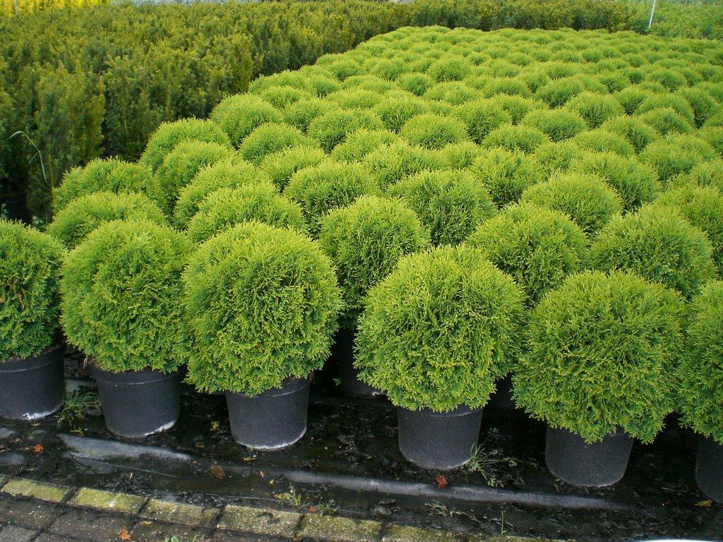 Туя в горшках, растения готовы к высадке в открытый грунт.