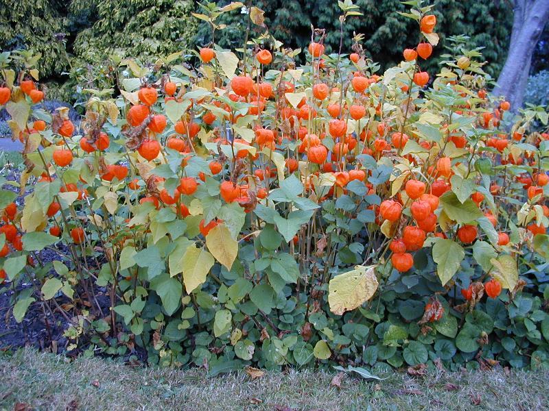 Physalis alkekengi in the garden.