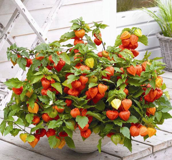 Cape gooseberries in the pot.