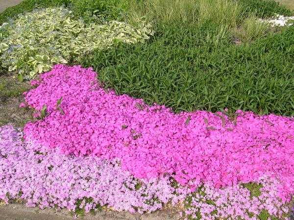 Флоксы в саду. Пример ландшафтного дизайна.