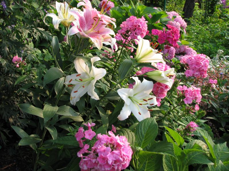 Phlox and lilies.